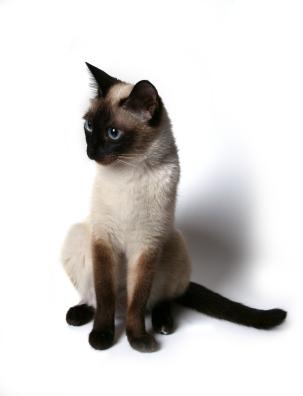https://i0.wp.com/www.sfgate.com/blogs/images/sfgate/pets/2009/04/10/siamese.jpg