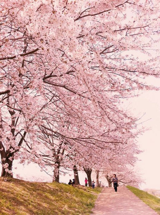 pink japanese cherry blossoms / sfgirlbybay