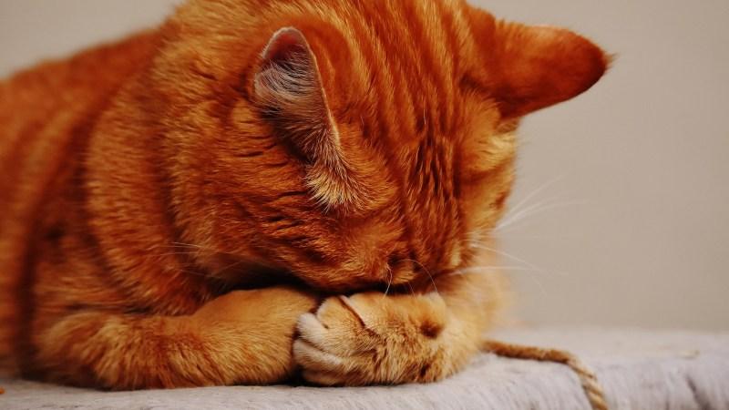 Perché il gatto non dorme di notte: cause e rimedi