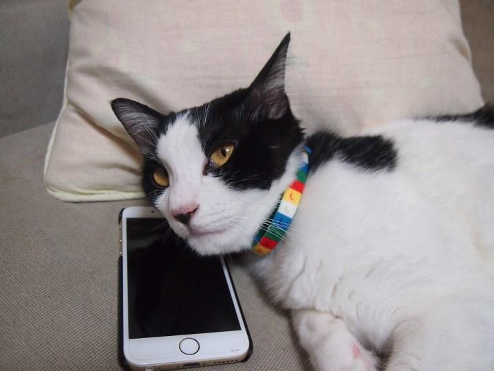 MeowTalk: l'app che traduce i miagolii