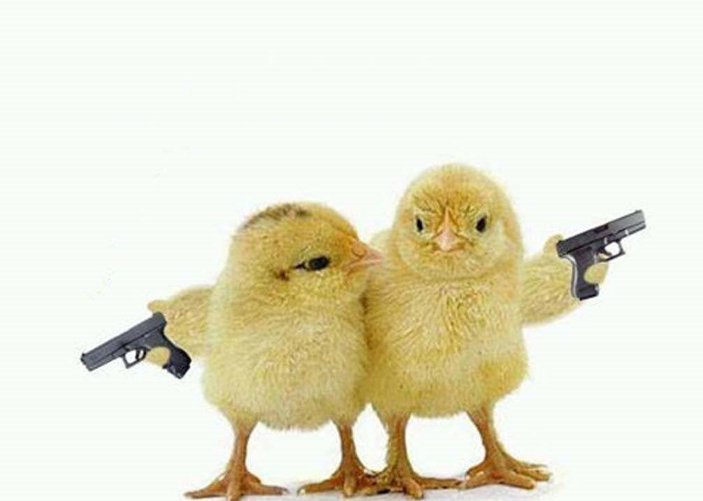 meme sulle galline di Pordenone.