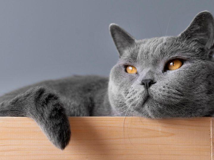 Il trillo del gatto: significato e funzione comunicativa