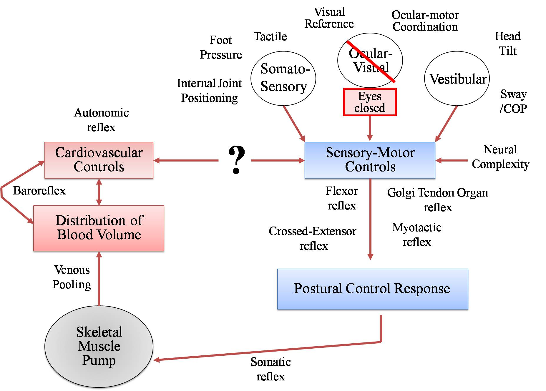 hight resolution of the cardiopostural model