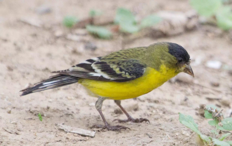 SFV Backyard Bird Identification  San Fernando Valley