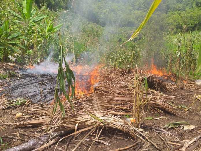 Incineración de plantas de cocaína