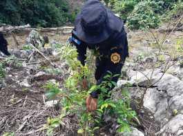 Erradicación de cultivo de coca