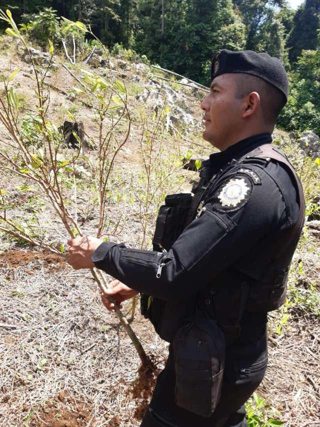 Planta de coca en fase de aprovechamiento