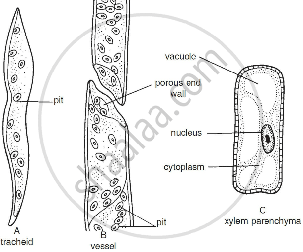 Wiring And Diagram: Diagram Of Xylem Parenchyma