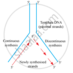 Explain the process of DNA replication with the help of a
