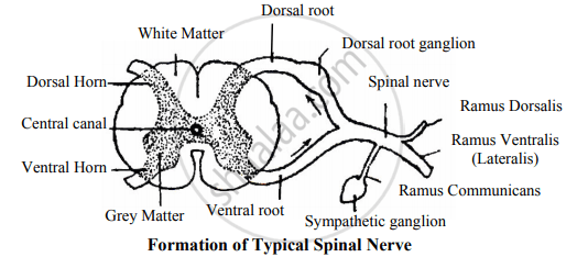 Sketch and Label Formation of Typical Spinal Nerve