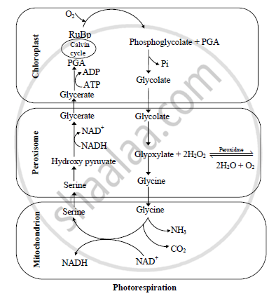 Give its diagrammatic representation of photorespiration