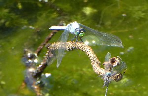 Dragonfly with emerald green eyes perched on a twig