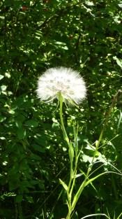 Milkweed Plume
