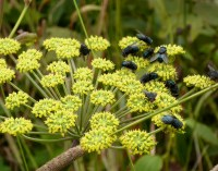 These flies get drunk on the Angelica