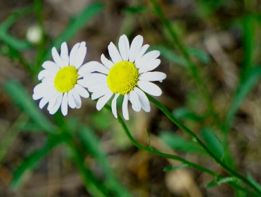 Daisy, Daisy give me your answer true