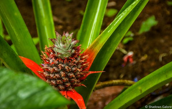 Red Pineapple ?