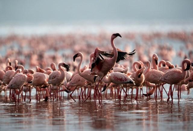 flamingos lake nakuru lake bogoria kenya