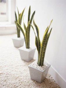 snake_plant