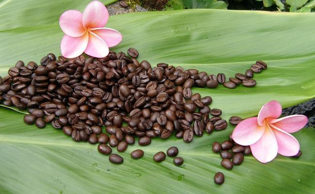 10 Interesting Facts about Kona Coffee   Hawaii - Fashion - Surf - News