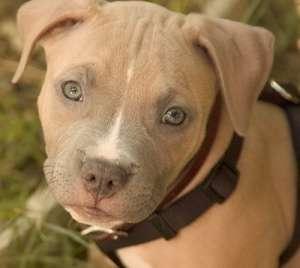 Pit Puppy Photo