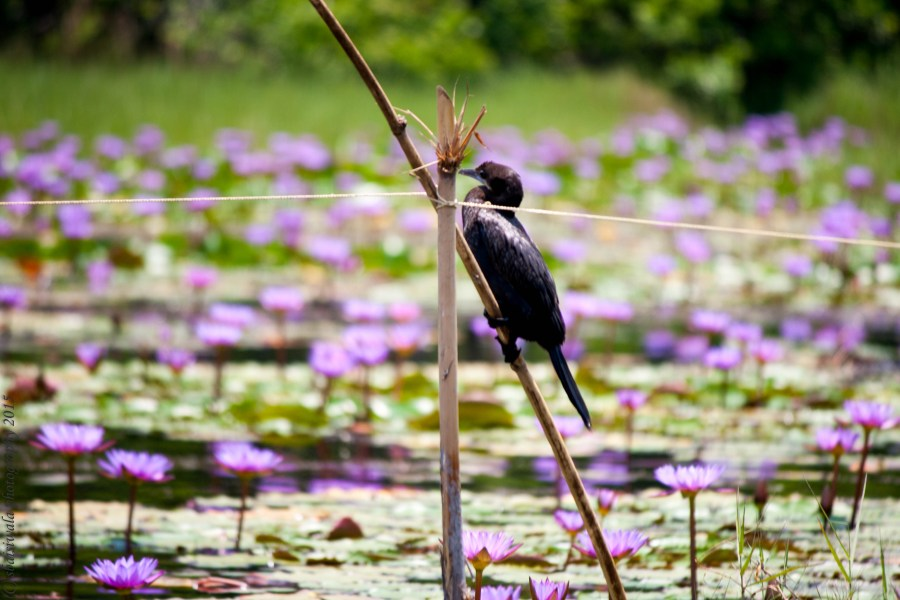 blie-waterlily-lake-pookote-pookode-kalpetta-kerela-india-travel