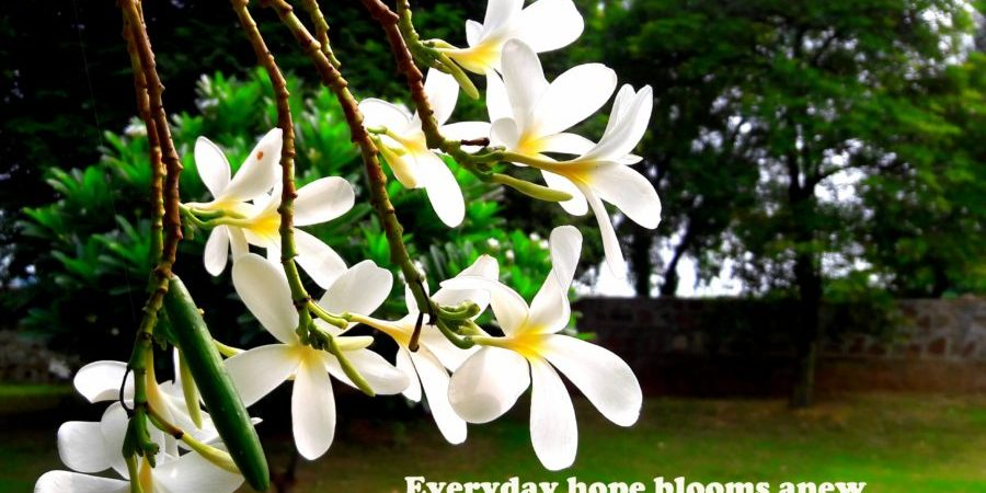 frangipani-champa-nagchampa-indianflowers-farmhouse-prayer-offering-blogprompt