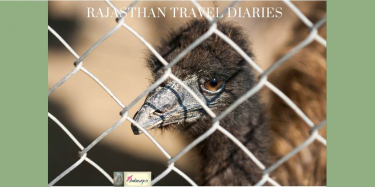 emu-farms-haryana-rajasthan-shekhawati-travel-india