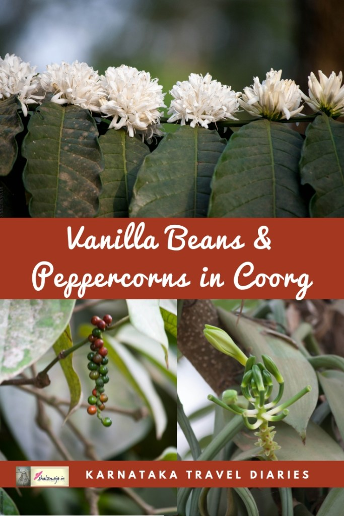 vanilla beans peppercorns coffee blooms coffee berries spices plantation in Coorg Karnataka India at Tata Coffee Estate Hospitality Hotels Tourism Nature