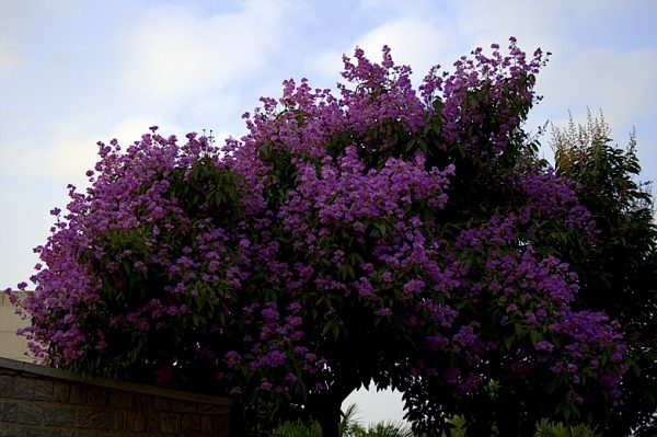 queen's crepe myrtle - banagalore- flowering trees- thursday tree love