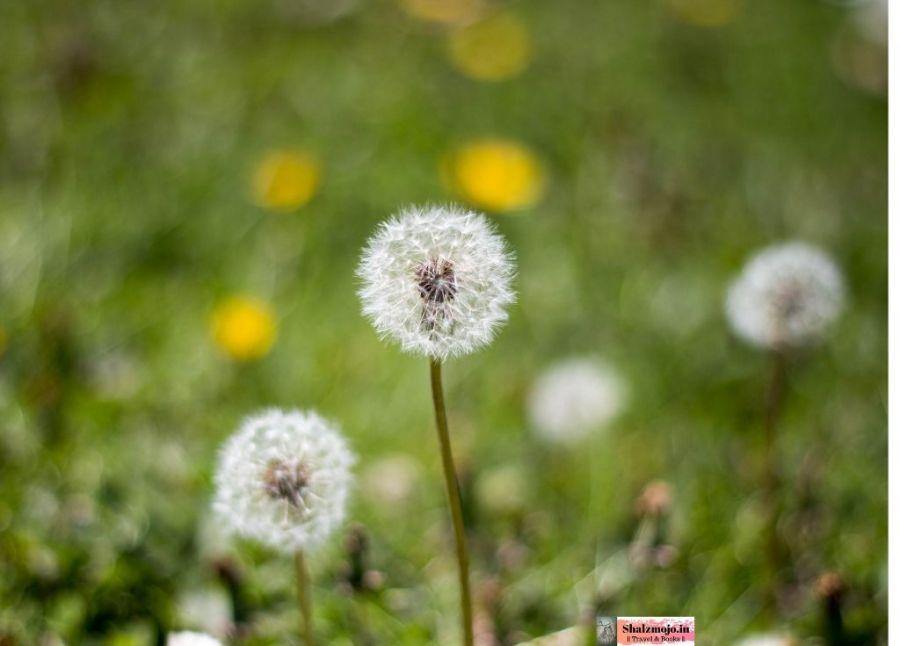 dandelions- wild flowers-grass-kashmir