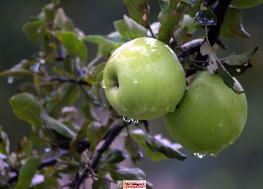 apples-green- kashmir - srinagar-orchards