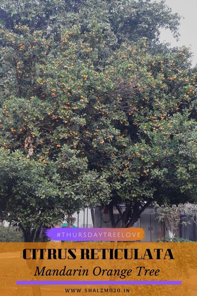 Mandarin orange tree-park - gurgaon- citrus - thursday tree love