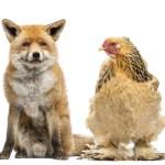 Hen Looking At Fox