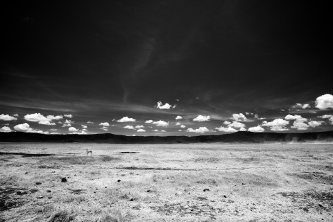 NGorongoro Antelope
