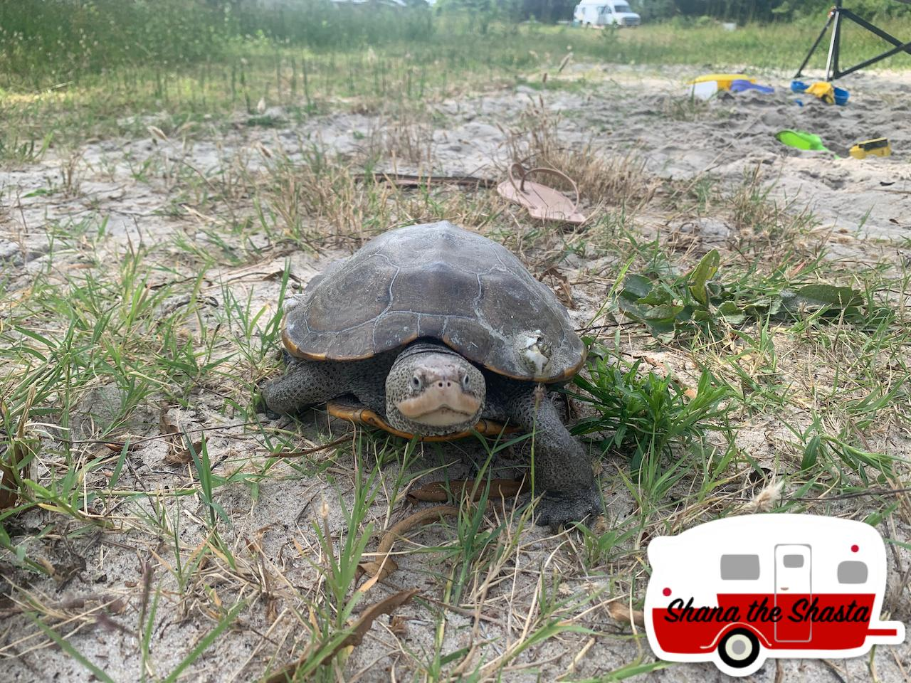 A-Real-Maryland-Terrapin-in-Maryland