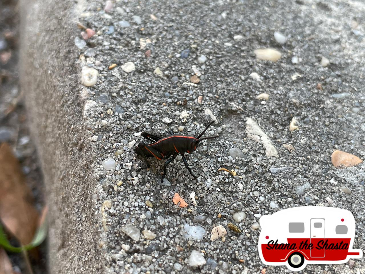 Black-Grasshopper-at-Gulf-Island-National-Seashore