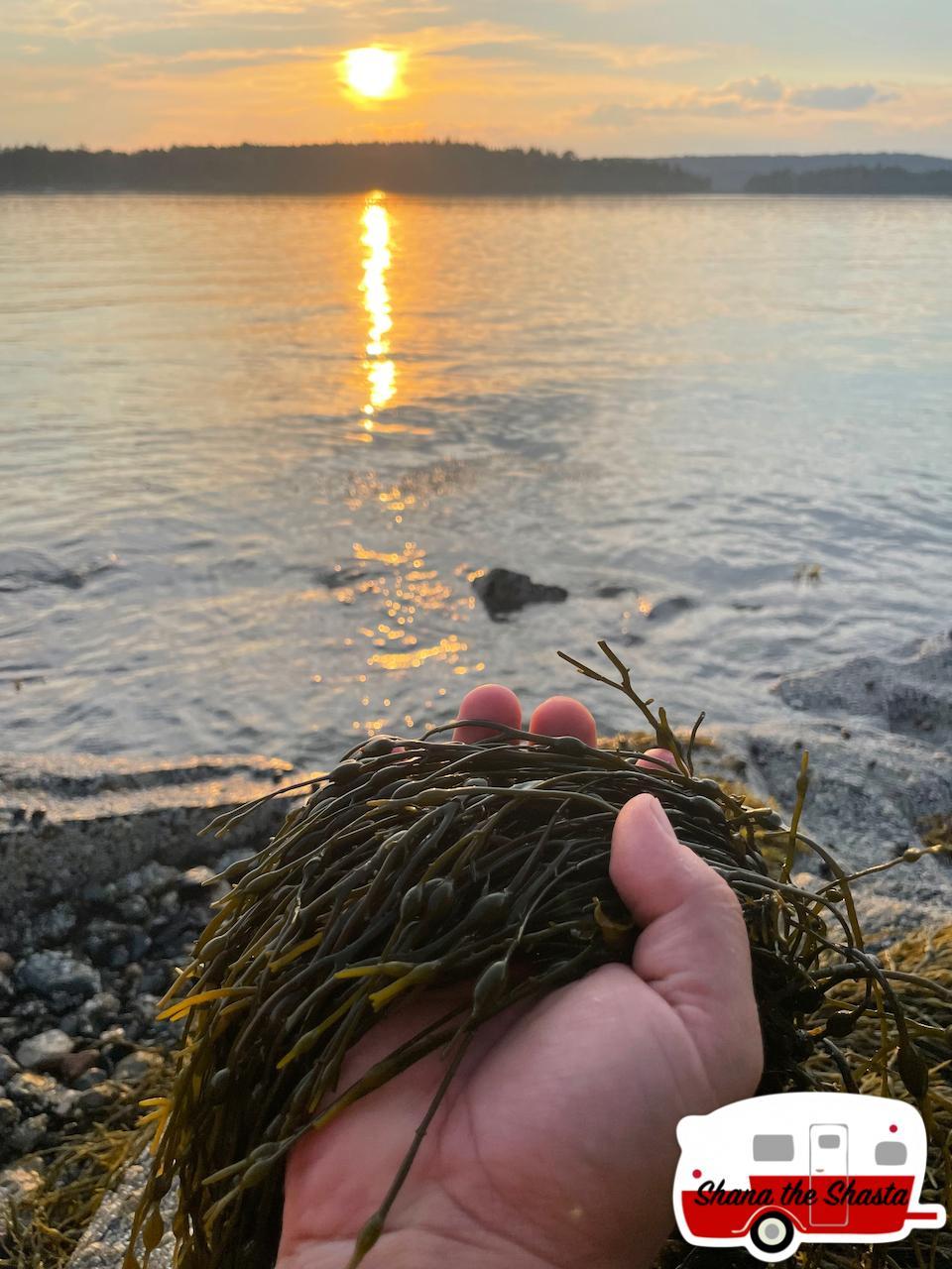 Fresh-Seaweed-in-Acadia