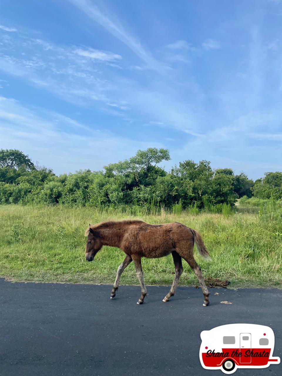 Pony-on-Assateague-Island
