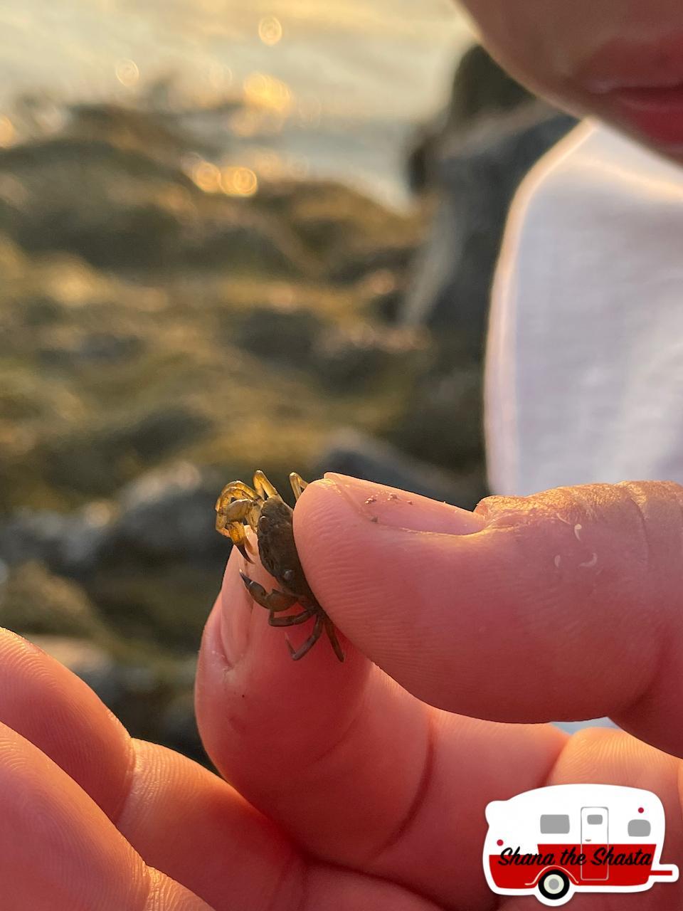 Tiniest-Crab-in-Acadia