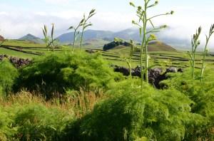 Wild-fennel