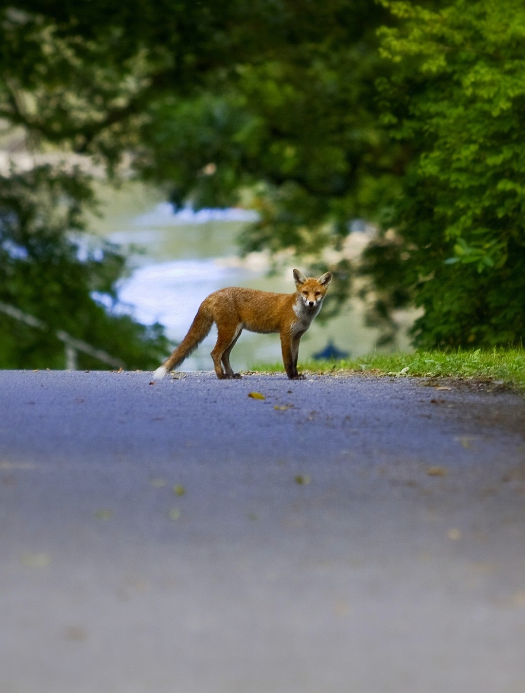 My First Fox photographed by Shane McDonald Photography