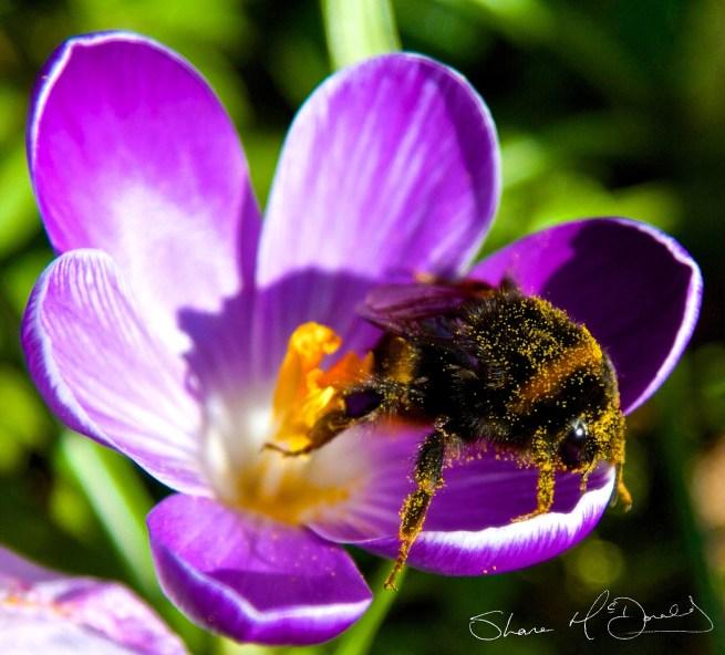 Bee on Flower full of Pollen
