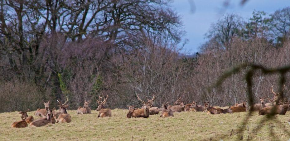 Deer in Doneraile Park
