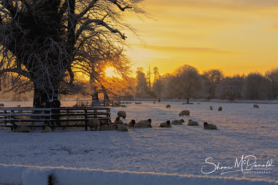 Sheep in the Snow, Mount Juliet, Co. Kilkenny, Ireland - Landscape Photography