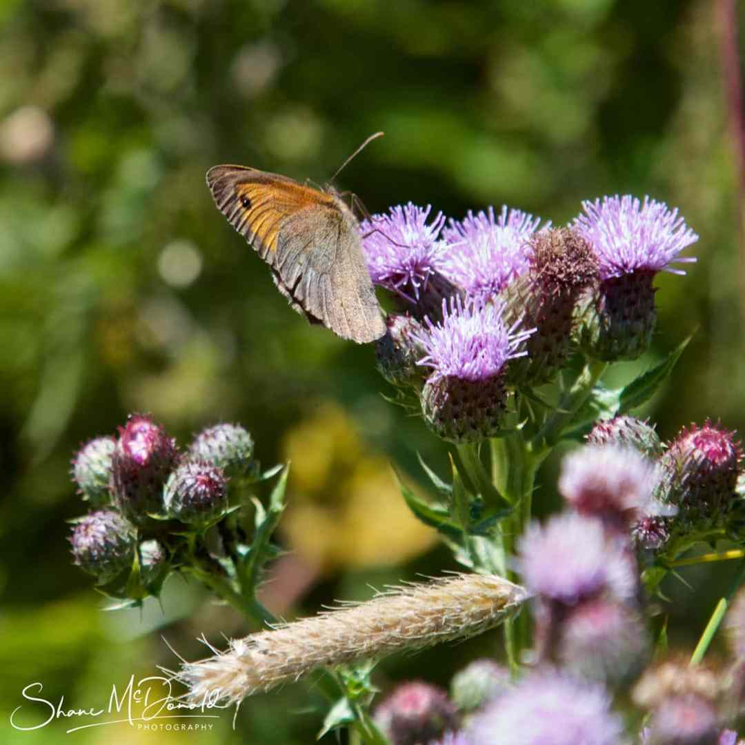 Wildlife Photography on the Isle of Wight - Butterfly - Coenonympha tullia | Large Heath