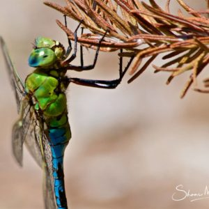Wildlife Photography on the Isle of Wight - Dragonfly closeup