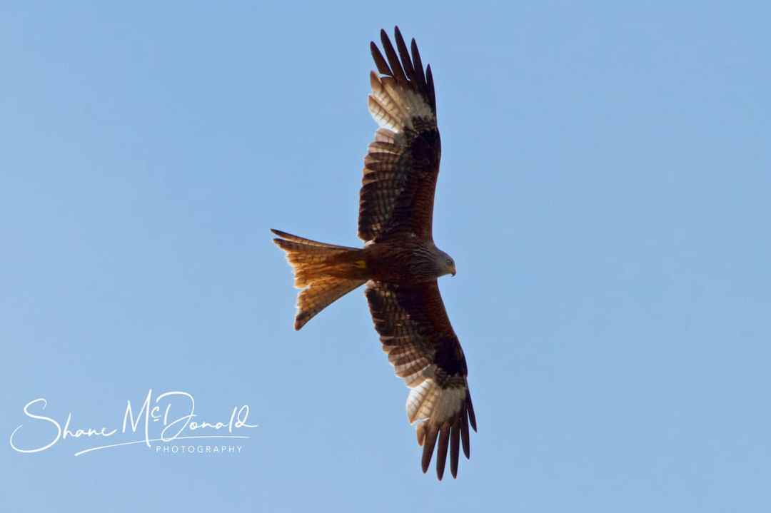 Red Kite in the South Downs National Park