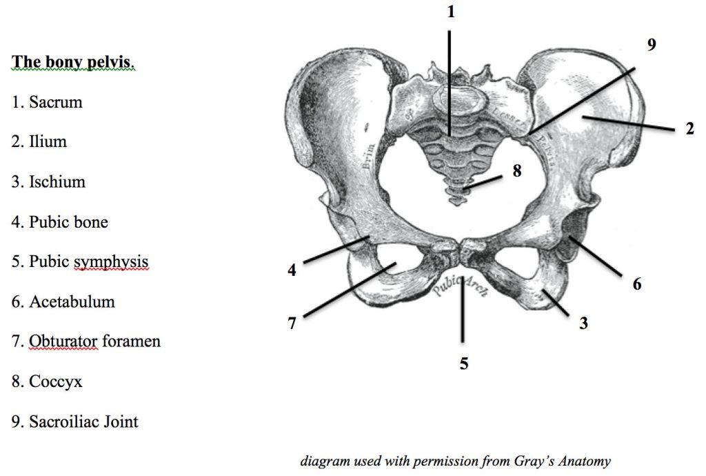 Anatomy of the Pelvis - Shannon Crow