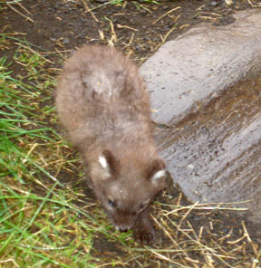 This is a baby arctic fox that was taken in by a farmer after he killed its parents (not realizing there were pups).