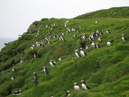 We also paid a visit to Ingólfshöfði, also known as Puffin Island.